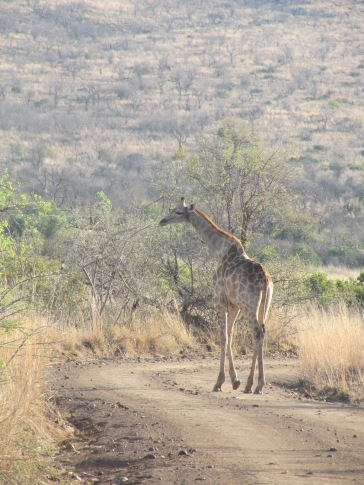 Une girafe qui se balade
