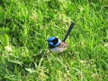 Petit oiseau bleu trop mignon qu'on voit partout!