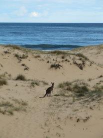 Kangourous...des plages!