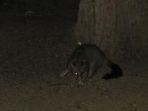 opossum qui vole notre sac poubelle!!!