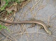 un lezard qui ressemble à un serpent!