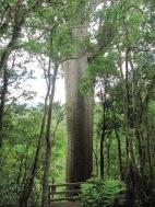 Arbre Kaori: arbre gigantesque sacré dans la culture maori. On en trouve quelques uns aux détours de chemins de rando
