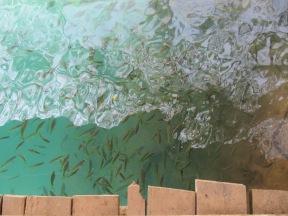 Plein de petits poissons