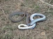 un serpent...mort...mais qui m'a fait une belle frayeure!