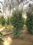 Plantation de poivre