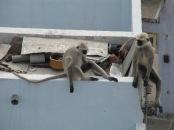 Plein de singes sur les toits !